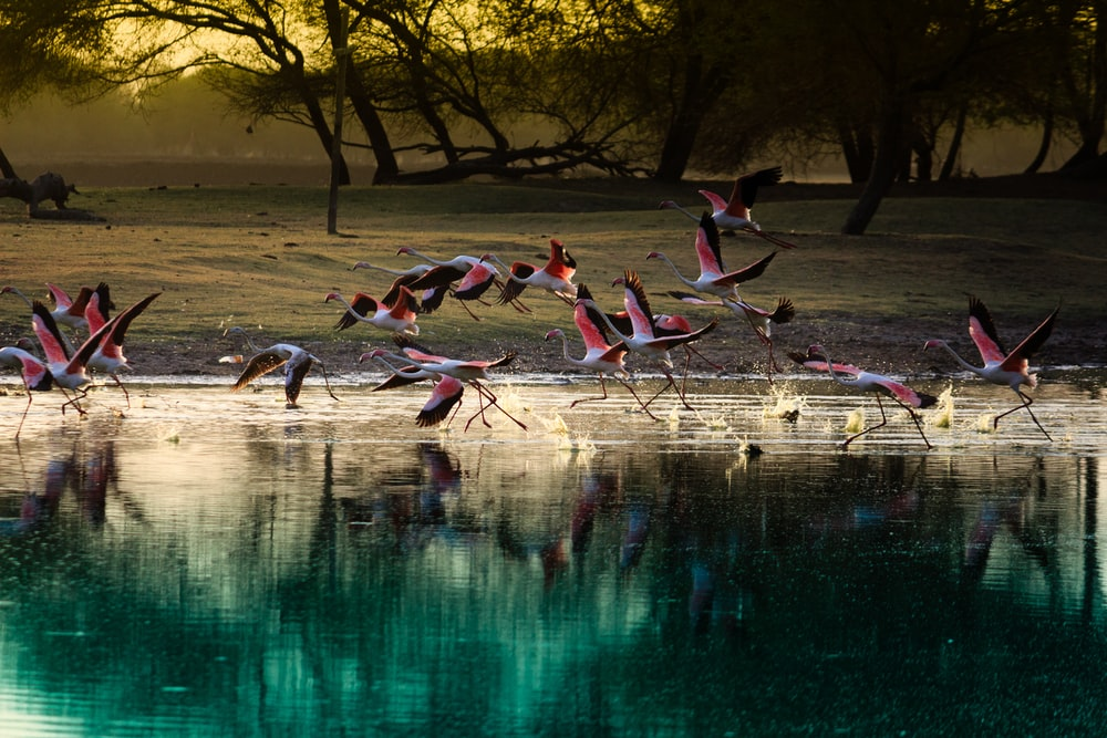 flock of flamingos on body of water