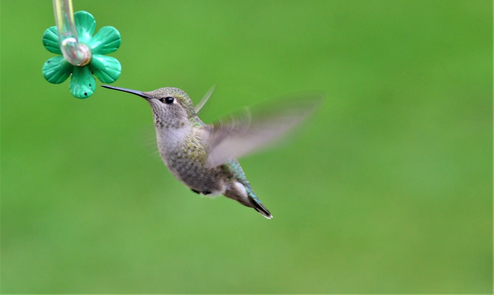 grey hummingbird flying