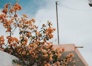 orange flowers above white concrete wall