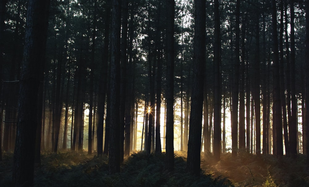 sunrise piercing through trees