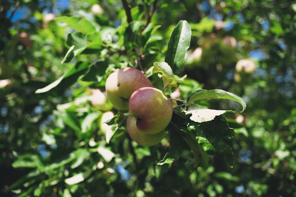 red apple fruit tree during daytime