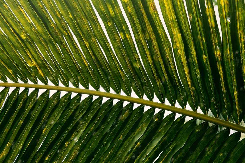 green coconut leaves