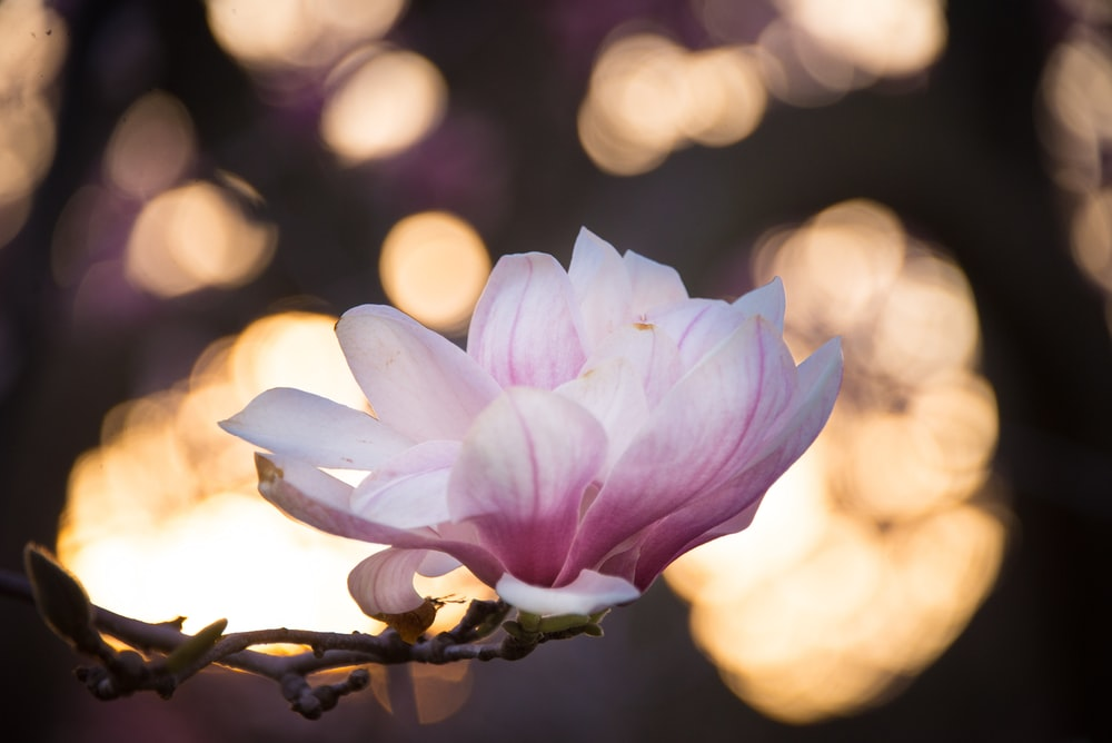Flower Magnolia Magnolia Flower Spring Pictures Download Free
