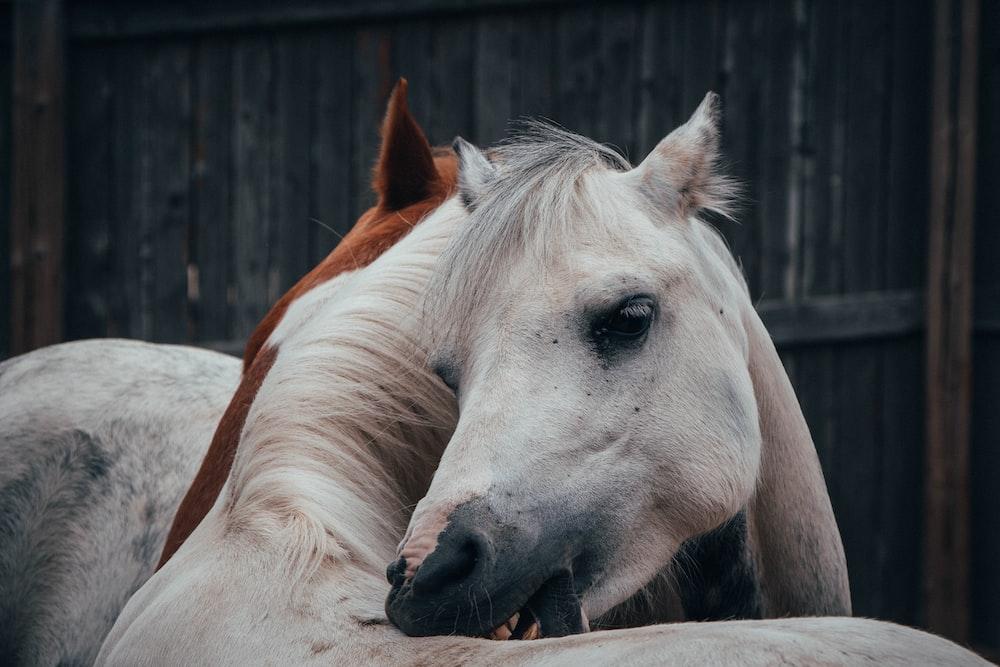 white horse biting it's neck