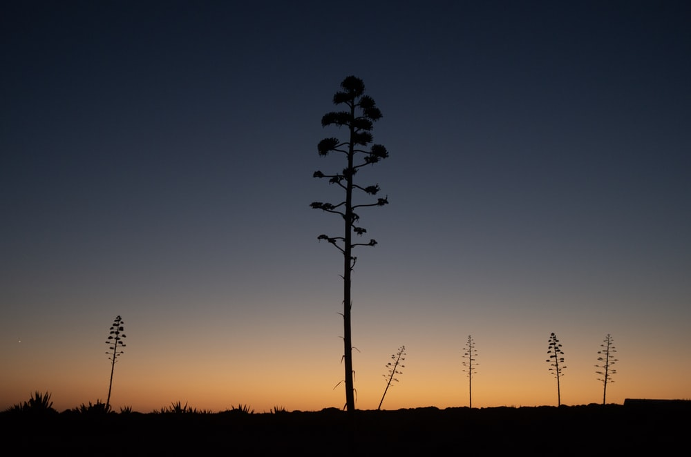 six tall trees on plain during sunset