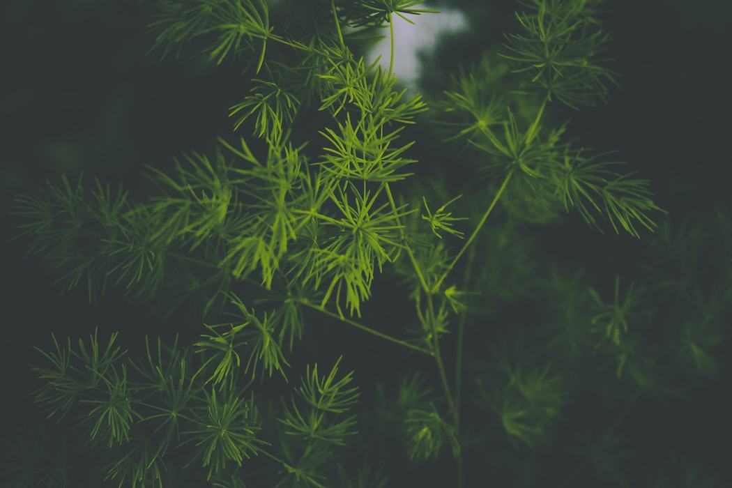 Dill Herb | 63 Amazing Pest And Insect Repellent For Plants You Should Know