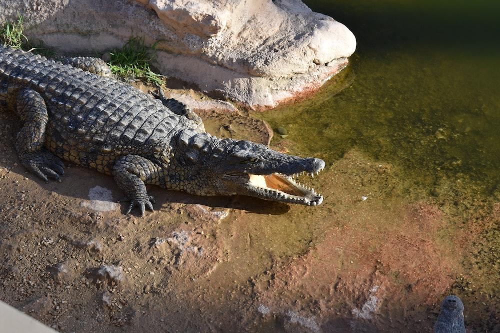 gray alligator near body of water
