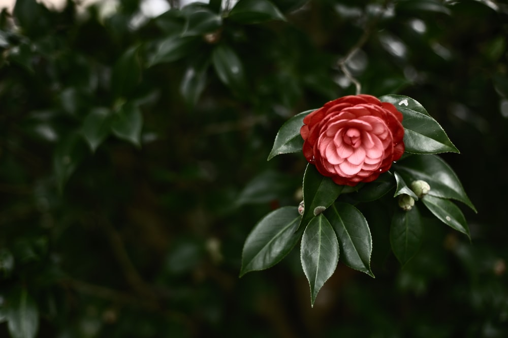 selective focus photography of red-petaled flower
