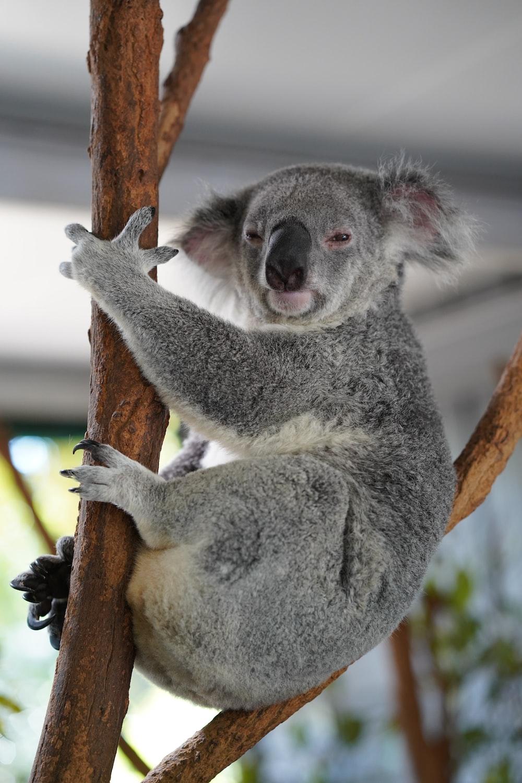 gray koala on branch