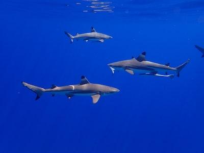 three white-and-black sharks