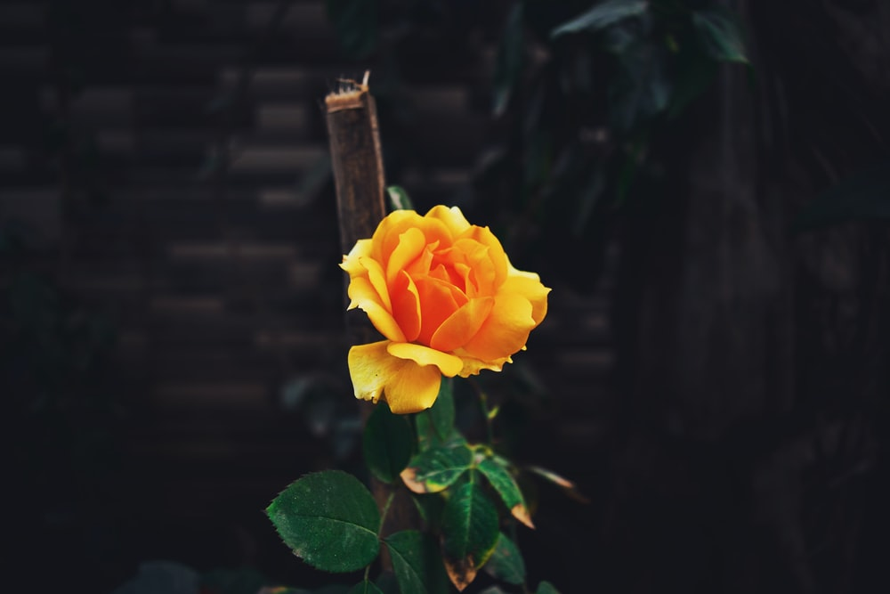 selective focus photography of yellow rose flower
