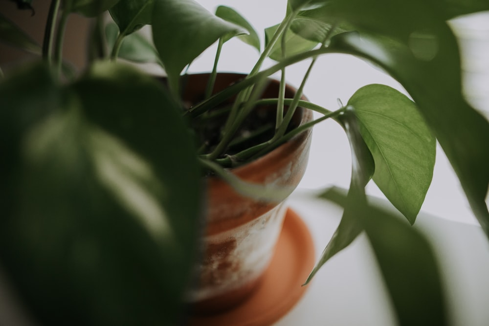 green-leafed plants and brown pot