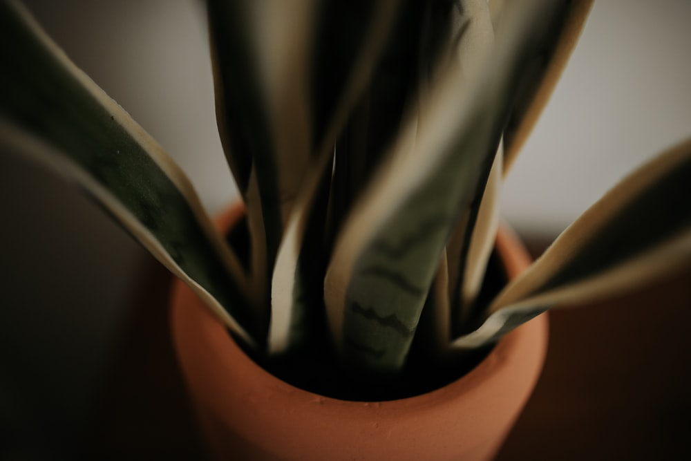 green snake plant and brown pot