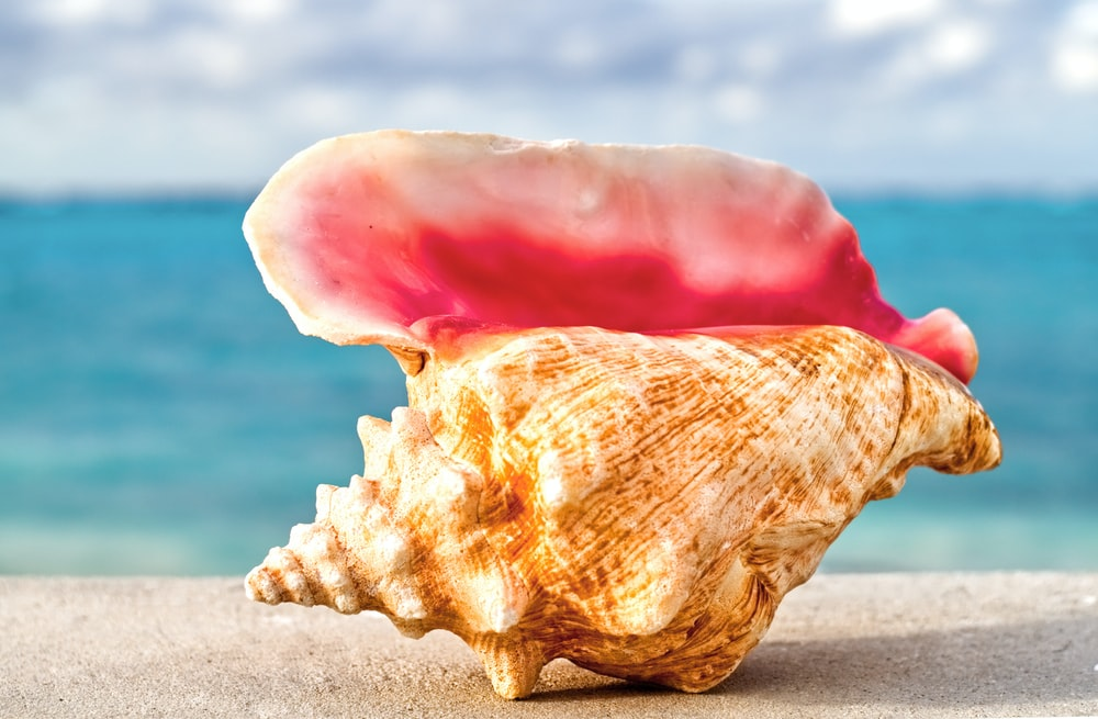 selective focus photography of brown and pink conch shell