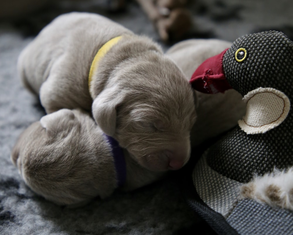 two gray puppies sleeping beside duck plush toy