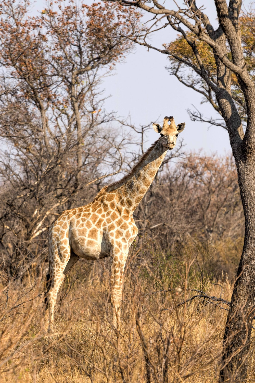 brown giraffe near bare trees
