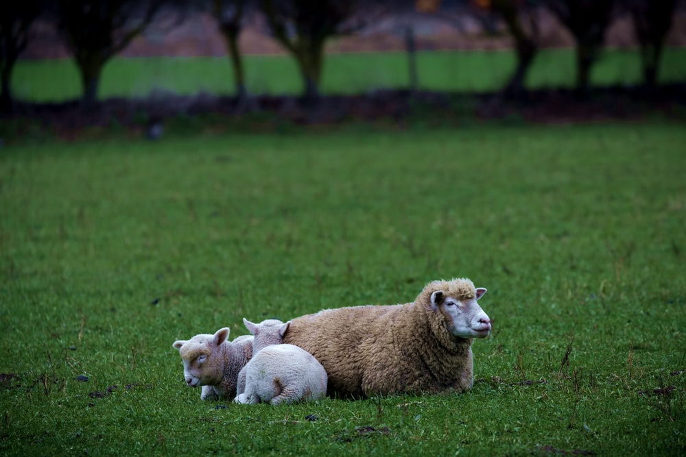 two sheeps on grass