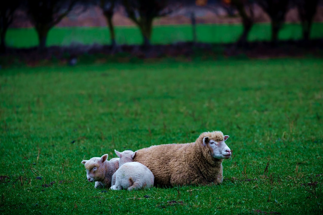 two lambs shelter beside their mother