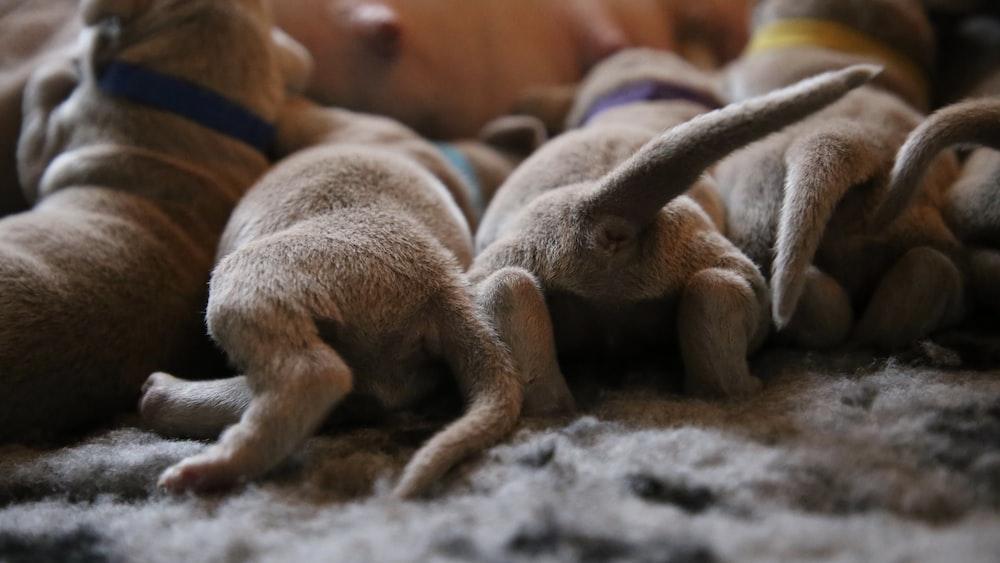 brown puppies breast feeding