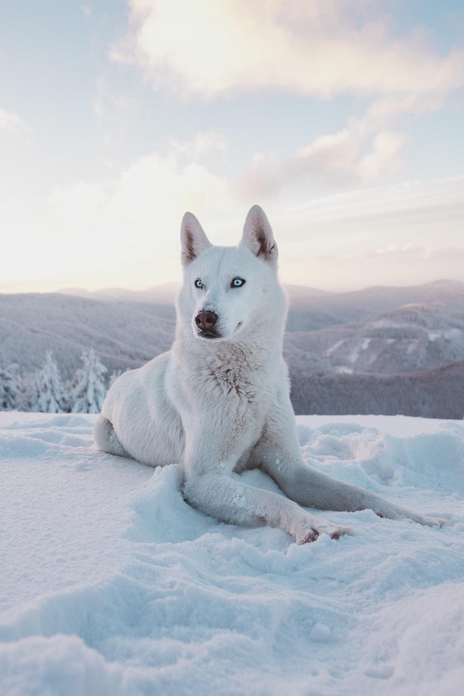 photo of adult short-coated white dog
