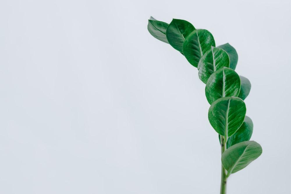 green leaf plant, zz plant