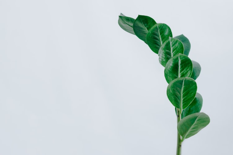 Zanzibar gem (zz plant) leaves