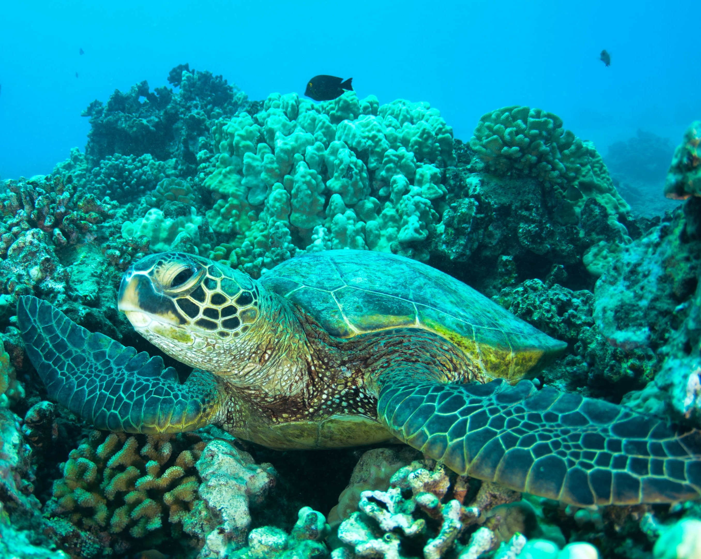 underwater photography of turtle on coral reefs