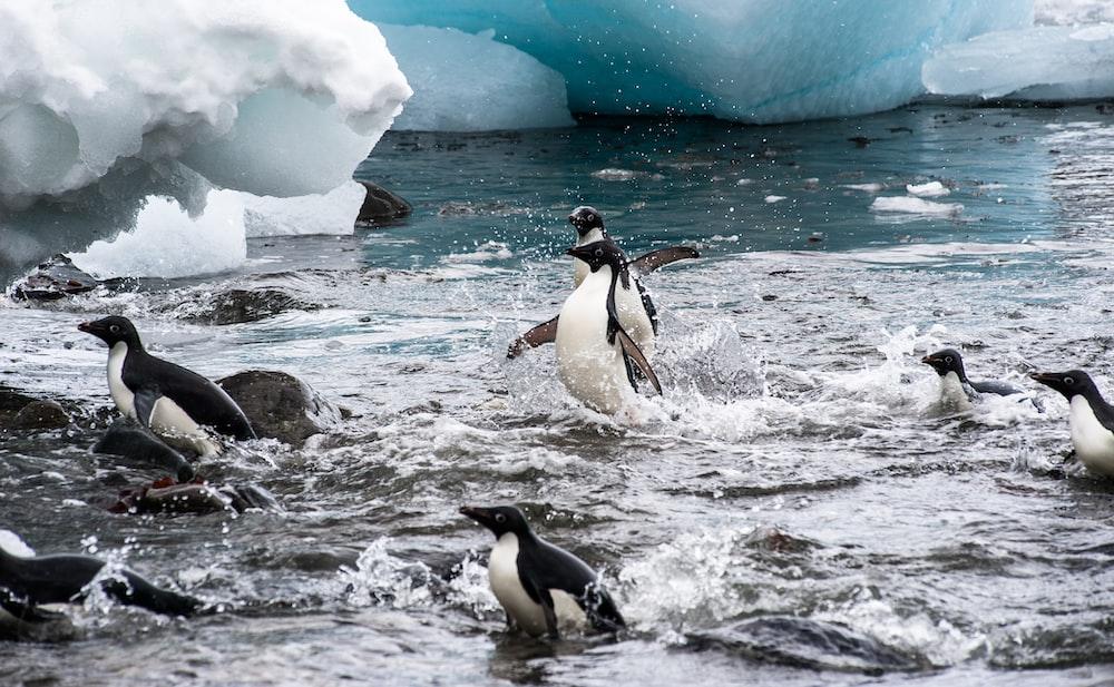 flock of penguin swimming in body of water