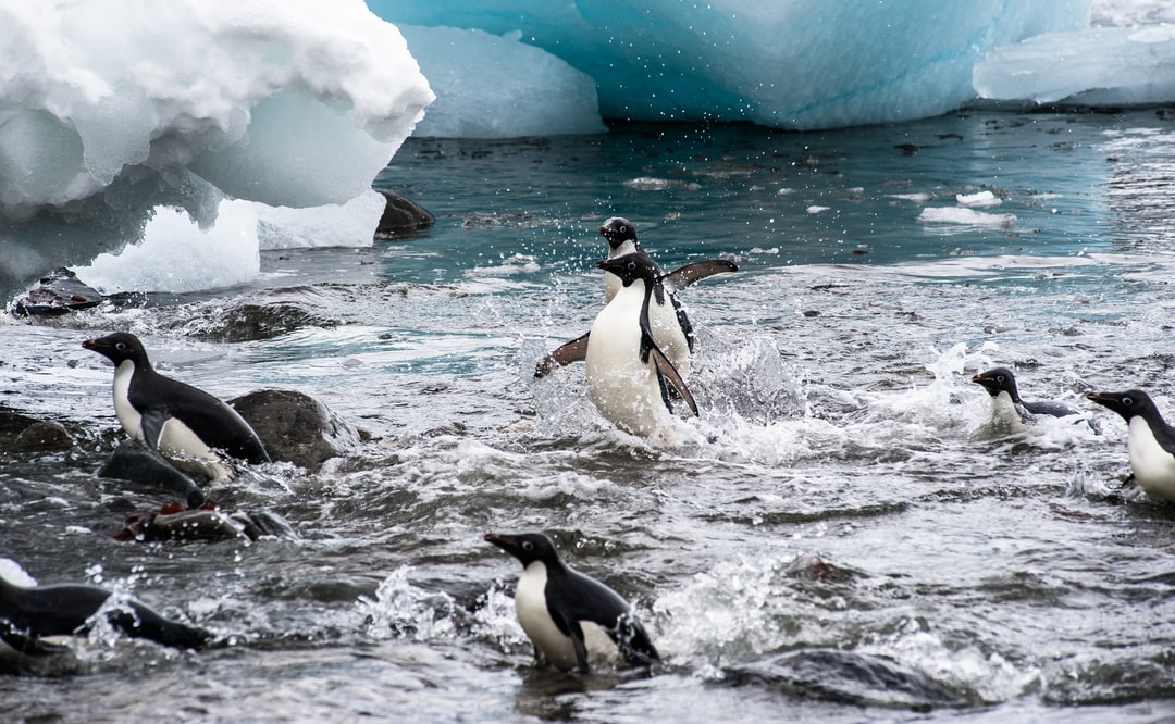 Adelie Penguins leap to land from the frozen waters of Antarctica