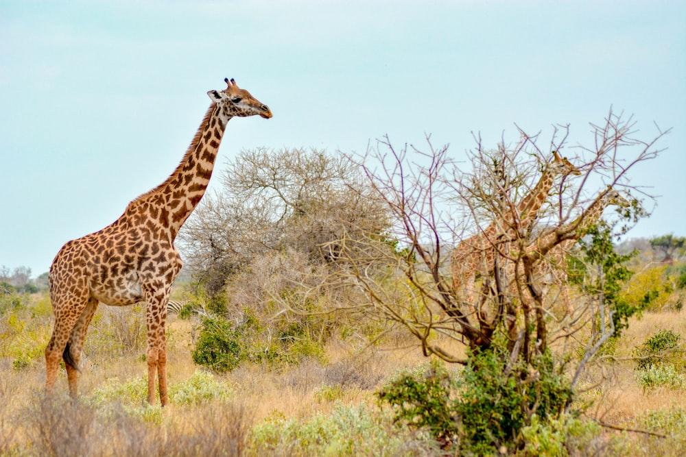 three giraffe on brown and green grass under white sky