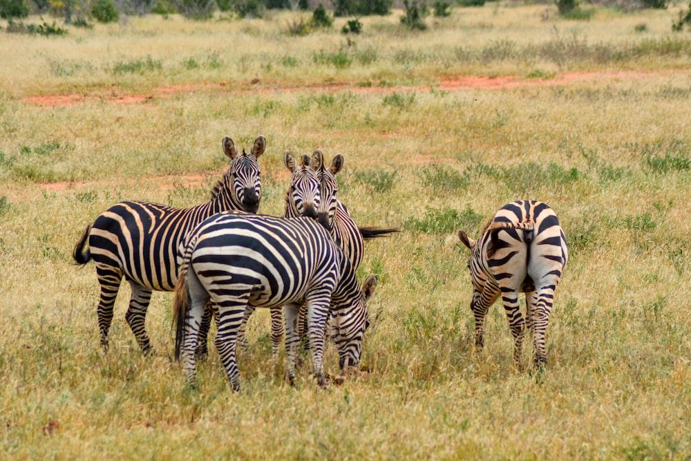 zebra standing on green grass field