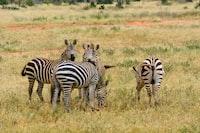 two white and black zebra