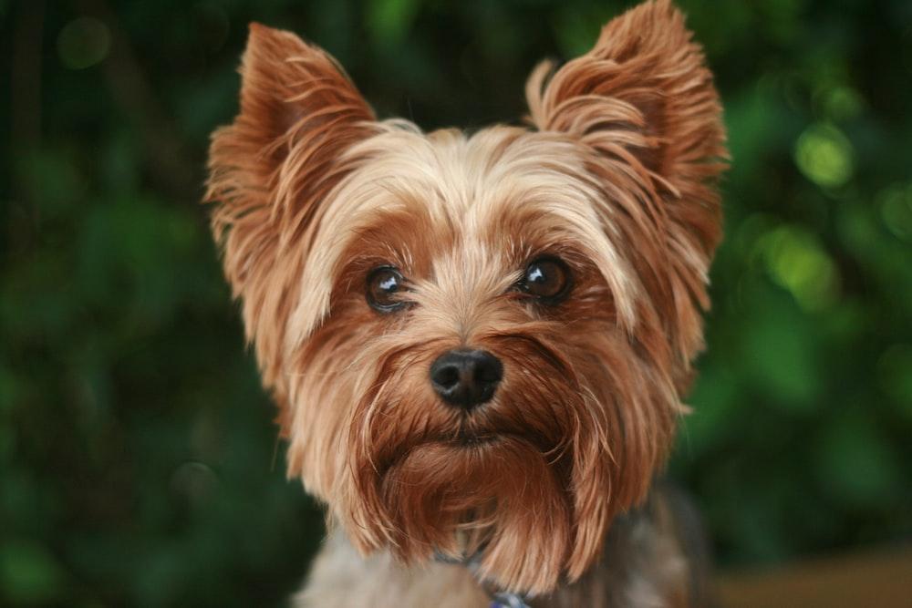 adult tan Yorkshire terrier
