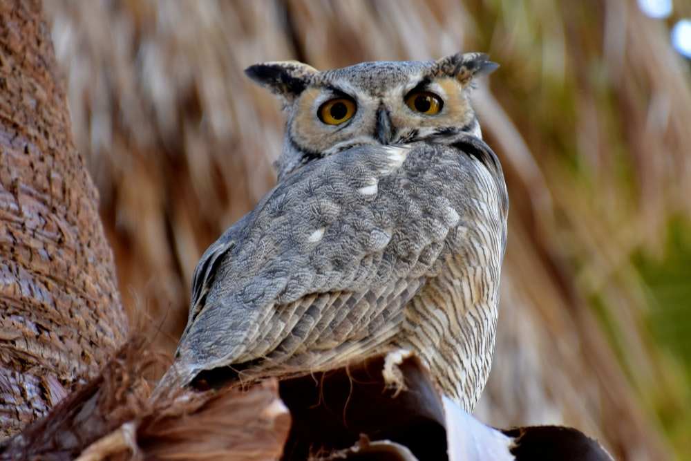 close up photo of gray and brown Owl