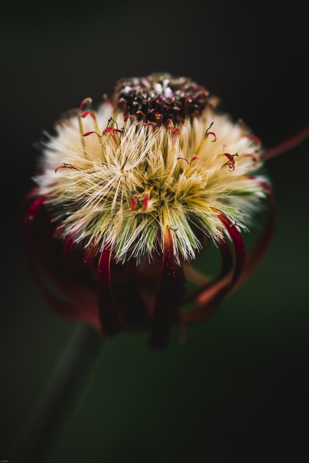 close-up photography of white and red flower
