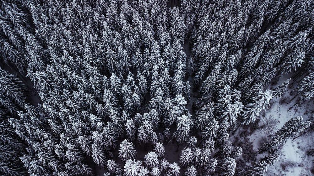 pine trees in high-angle view photography