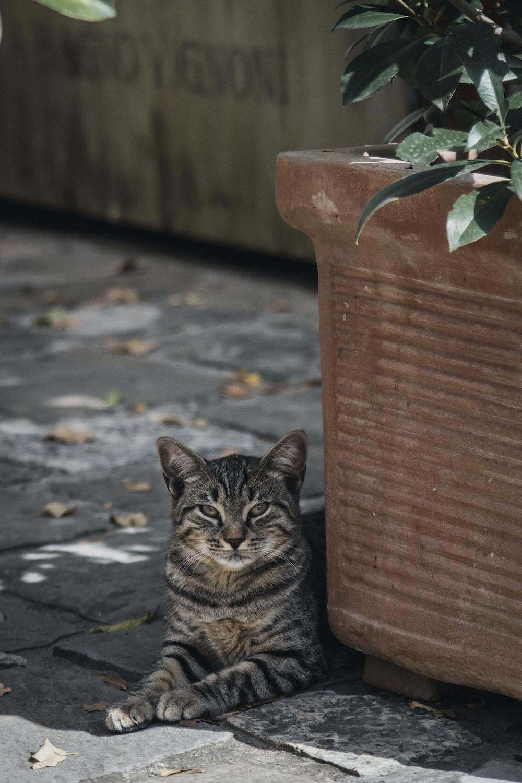 gray tabby cat resting beside brown flower pot