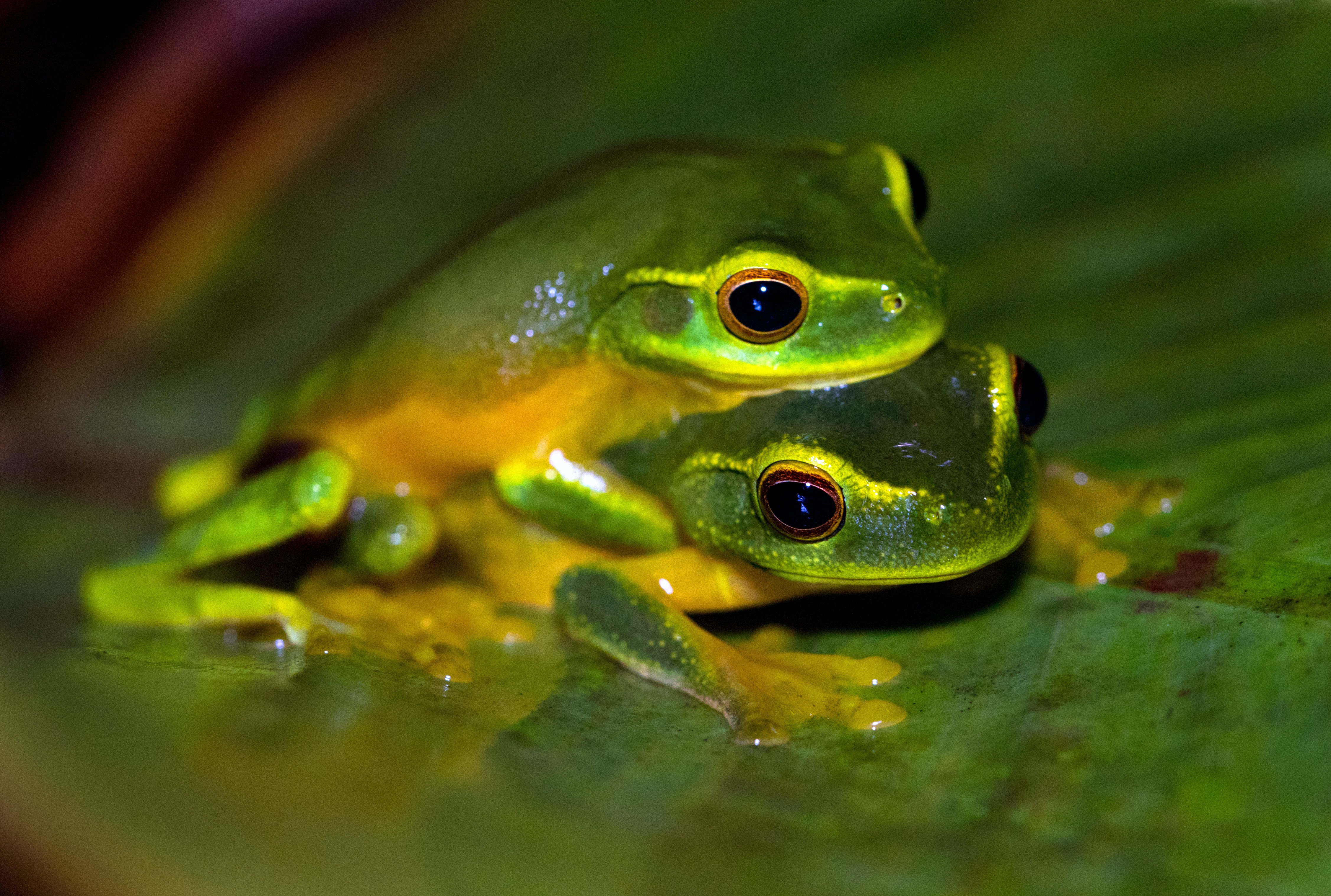 2 green frogs on leaf