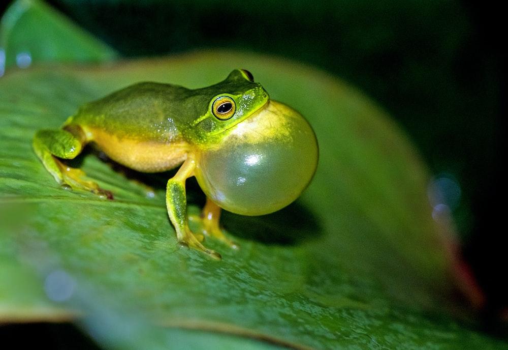 green leaf frog on green leaf in macro photography