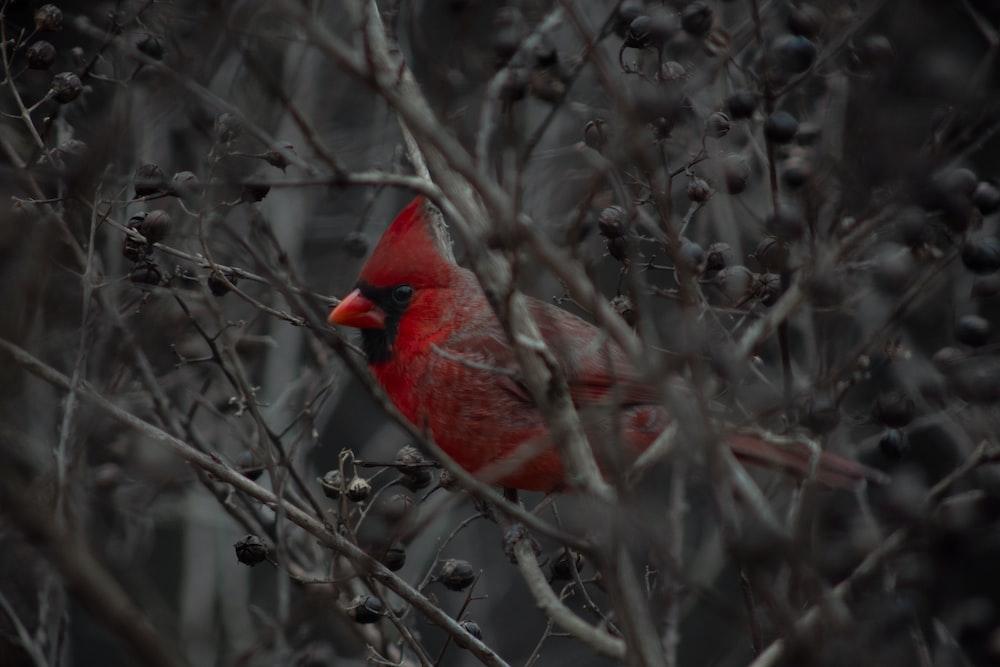 selective focus photography of cardinal bird