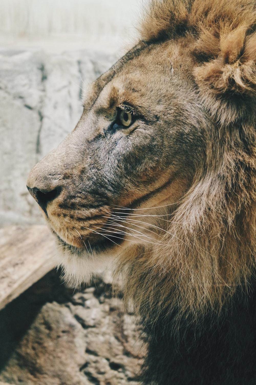 gray lion close up photo