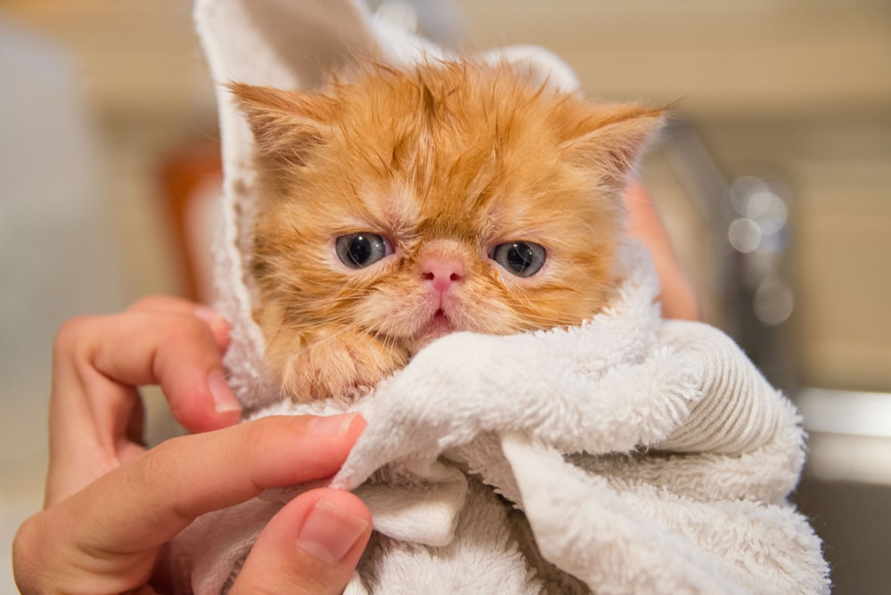 orange kitten covered by white towel