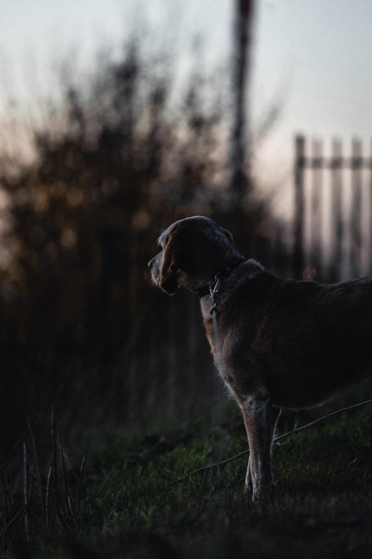 short-coated tam dog standing near fence