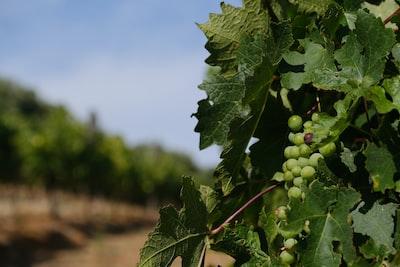 4638. Bor,szőlő, borászatok