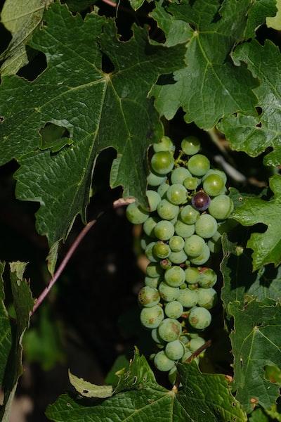 4646. Bor,szőlő, borászatok