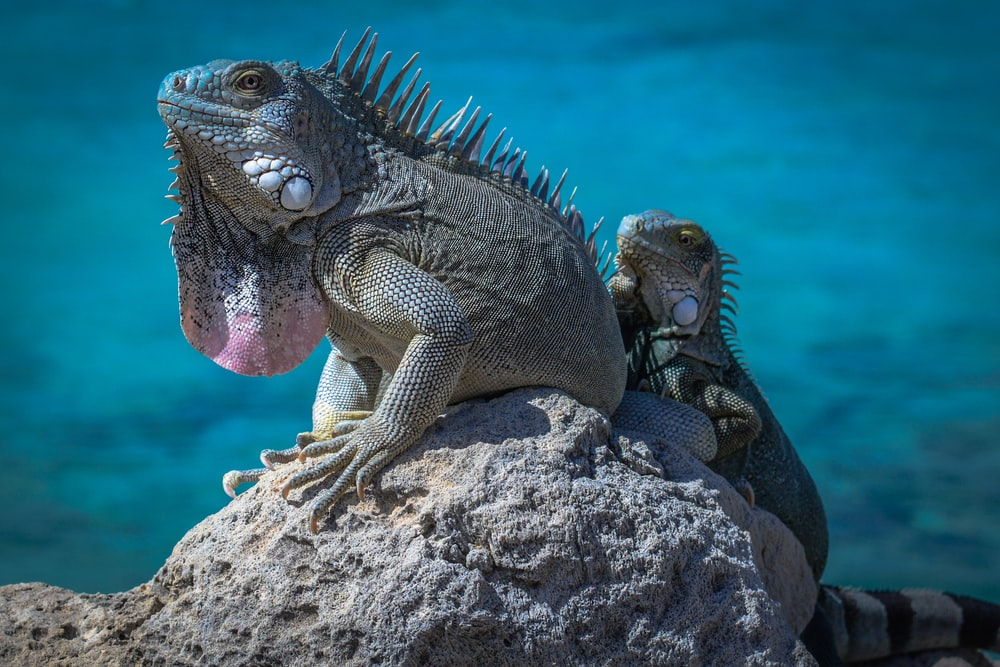 two green bearded dragons