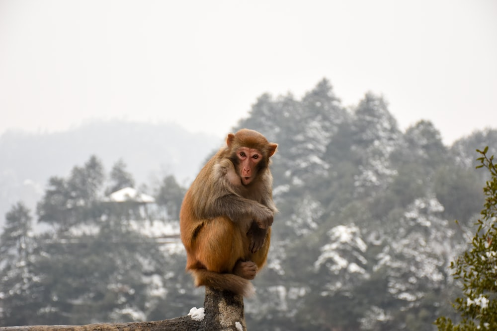 monkey sitting on brown fence at daytime