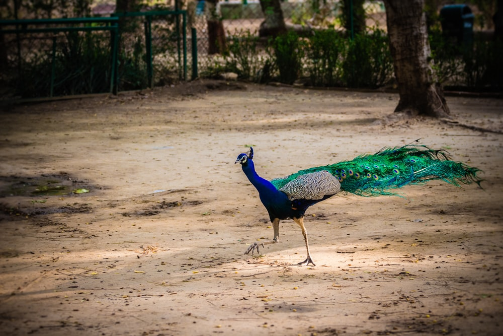 blue and green peacock near trees