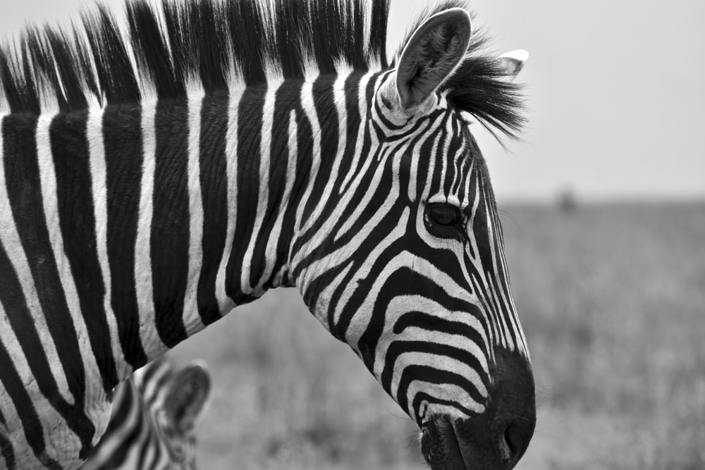 grayscale photography of zebra