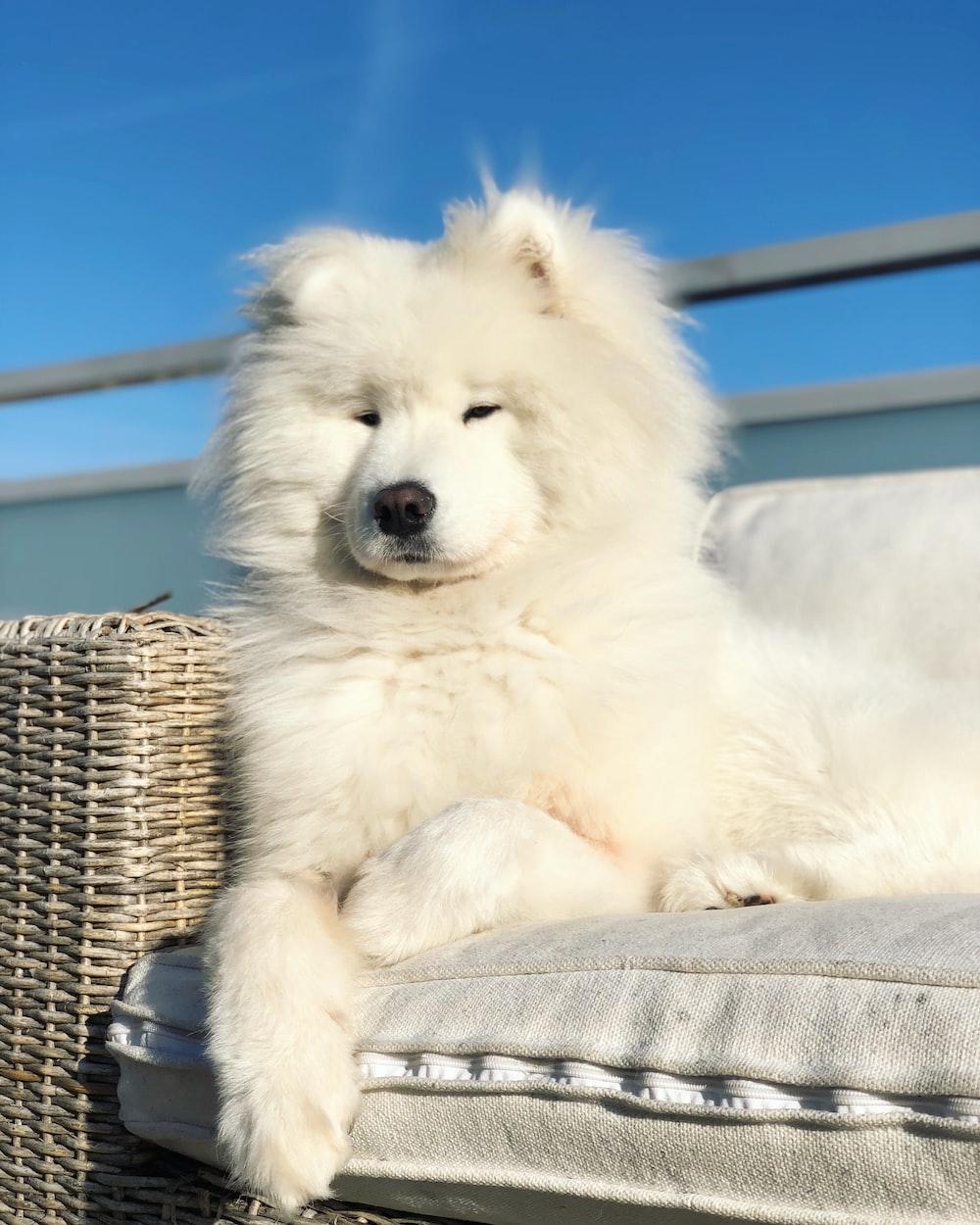 long-coated white dog on sofa